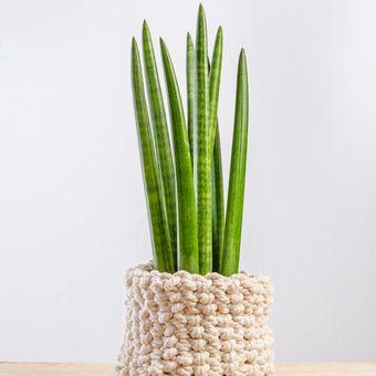 Sansevieria cylindrica, salah satu jenis tanaman lidah mertua.