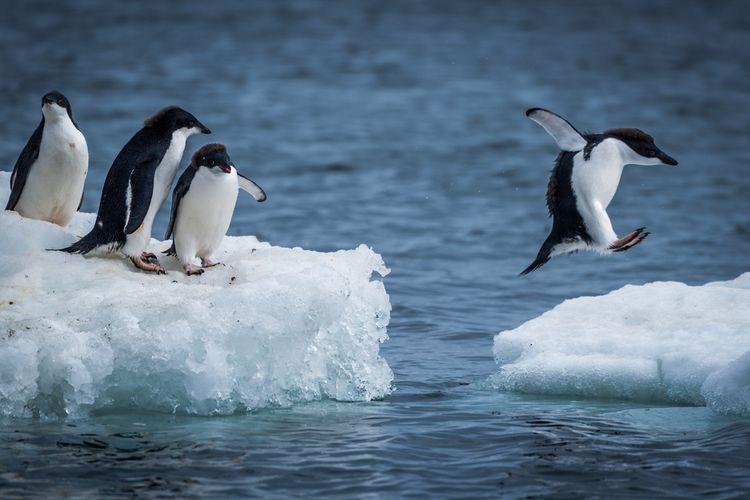 Ilustrasi penguin Adelie di Antartika