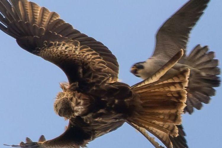 Pertarungan elang vs alap-alap. Sang alap-alap betina menukik untuk mengusir burung elang merah yang hendak merebut makanannya.