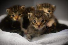 Diare pada Anak Kucing, Penyebab, Gejala, dan Pencegahannya