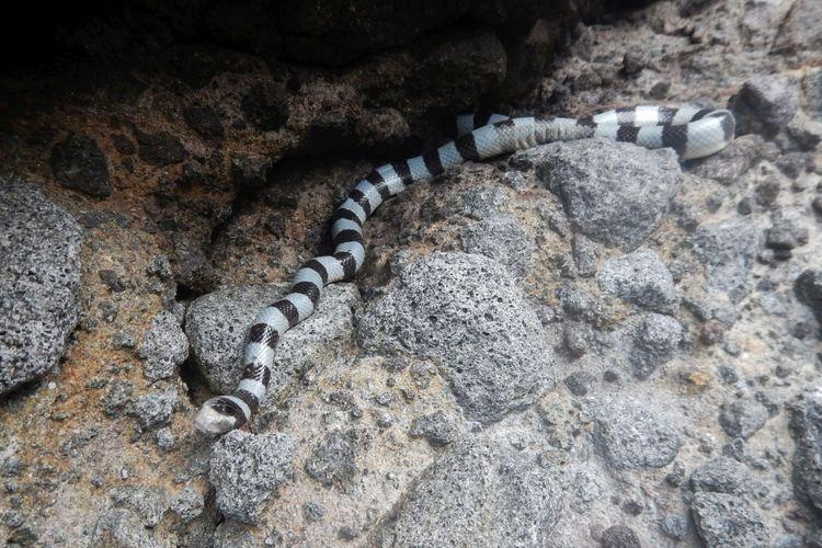 Ilustrasi ular belang