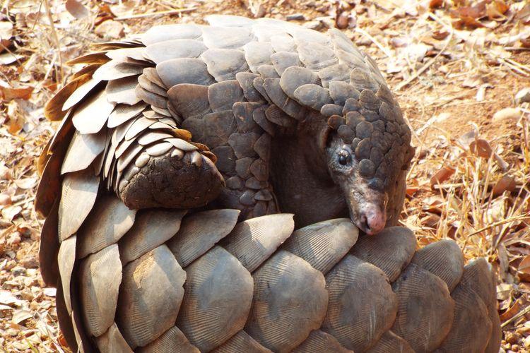 Ilustrasi trenggiling, hewan yang diburu dan dijadikan bahan obat tradisional