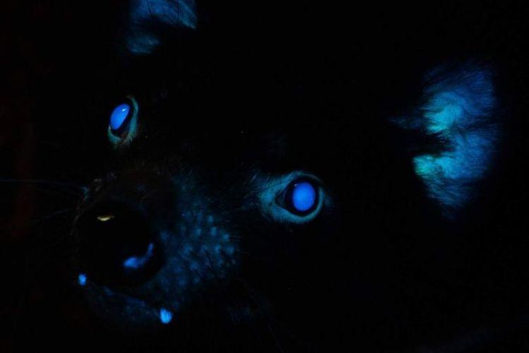 Peneliti merasa yakin mereka adalah yang pertama kali di dunia menemukan Tasmanian devil bisa menyala di bawah sinar UV.
