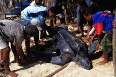 Penyu Belimbing Ditemukan Mati Terdampar di Pulau Sabu, NTT
