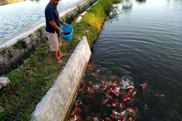 Pembudidaya sedang memberi makan ikan koi di kolam mereka di Desa Kemloko, Kecamatan Nglegok, Kabupaten Blitar, Selasa (13/7/2021)