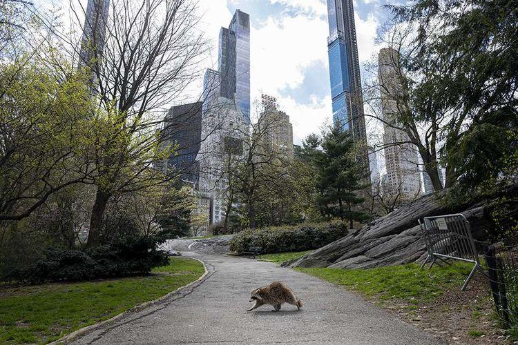 Seekor rakun berjalan di jalanan Central Park yang sepi selama kebijakan lockdown terkait pencegahan penyebaran virus corona, di Manhattan, New York, AS,  Kamis (16/4/2020).