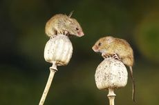 5 Tanda Tikus Bersarang di Rumah