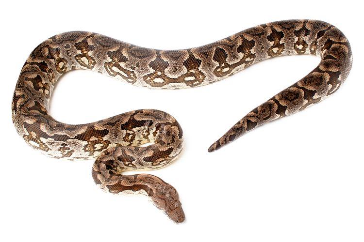 Ilustrasi ular piton sanca kembang (Malayopython reticulatus)