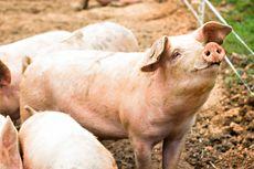 Studi: Strain Virus Corona Babi SADS-CoV Dapat Menular pada Manusia