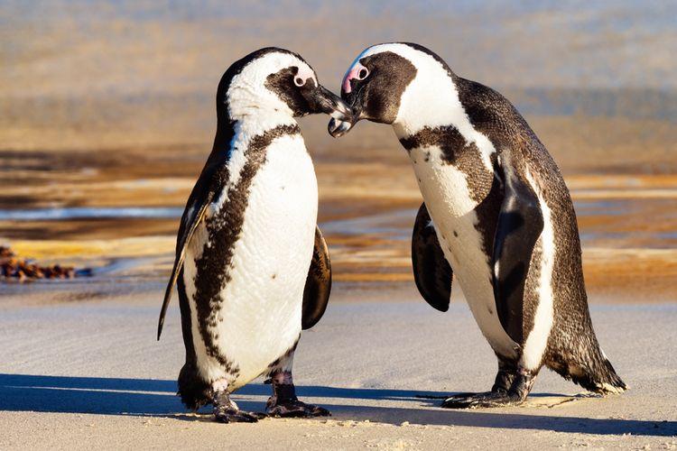 Ilustrasi penguin Afrika. Penguin ini adalah spesies terancam punah. Puluhan penguin ini temukan mati di sebuah pantai dekat Cape Town, Afrika Selatan. Diduga penguin-penguin ini mati tersengat lebah madu Cape.