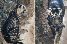 Dilaporkan Hampir Punah, Harimau Hitam di India Akhirnya Muncul