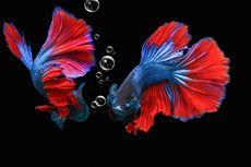 10 Cara Membedakan Ikan Cupang Jantan dan Betina