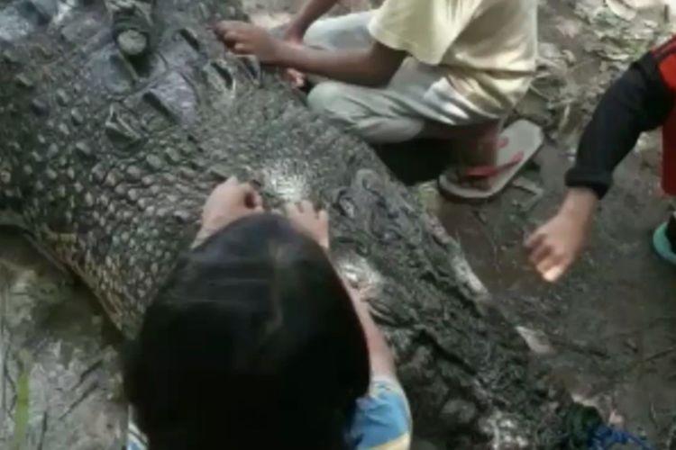 Pawang Buaya Bergulat Hingga Menangkap Dua Ekor Buaya Raksasa di Mateng