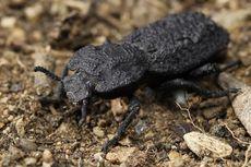 Kumbang Tangguh Ini Jadi Inspirasi Ilmuwan untuk Rancang Pesawat Lebih Kuat