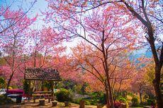 5 Wisata Populer di Chiang Mai Thailand, Salah Satunya Dipenuhi Sakura