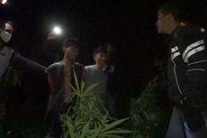 Polisi Amankan 2 Hektare Kebun Ganja Siap Panen di Merangin, Jambi