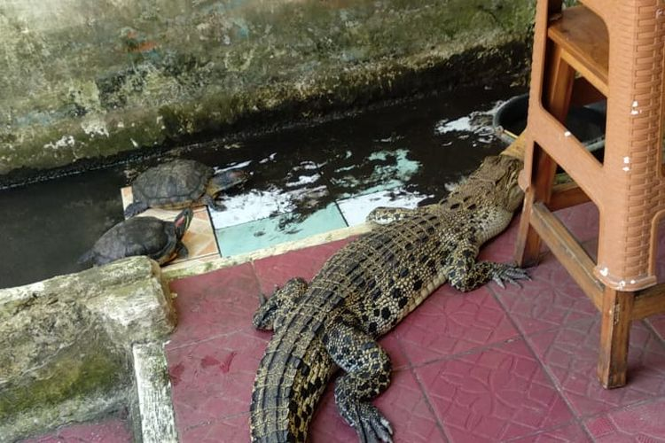 Seekor buaya berukuran 2 meter peliharaan seorang warga Teluk Pucung, Bekasi Utara, akhirnya diberikan secara cuma-cuma kepada Dinas Pemadam Kebakaran Kota Bekasi karena si pemilik tak lagi sanggup mengurusnya karena dampak ekonomi di masa pandemi Covid-19.
