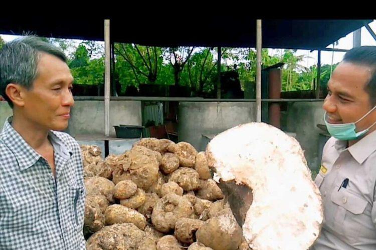 Tumbuhan liar bernama porang (Amorphophallus oncophyllus) dari hutan di Sibolga, Tapanuli Tengah kini telah menjelma menjadi salah satu komoditas ekspor unggulan asal Sumatera Utara (Sumut) yang laris di tiga negara, yakni Cina, Thailand dan Vietnam. Pada semester I/2020, tercatat ekspor porang sebanyak tercatat 362 ton dengan nilai barang Rp 7,2 miliar.