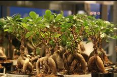 Mengenal Apa Itu Mandrake, Tumbuhan dengan Akar Mirip Manusia