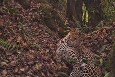 Empat Kambing Mati Diterkam Macan Merapi?