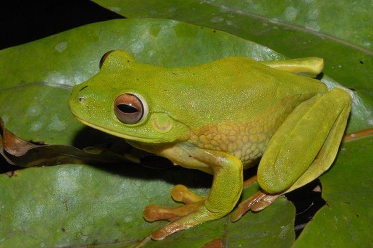 Spesies katak baru di area PT Freeport Indonesia, di Mimika, Papua. Spesies yang ditemukan adalah Litoria lubisi, sejenis katak pohon hijau besar yang merupakan anggota keluarga Litoria infratrenata.