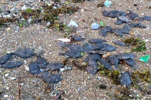 Ribuan Ikan Mati di Ambon, BMKG Sebut Tak Berhubungan dengan Tsunami