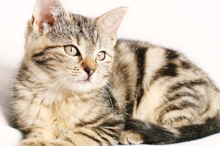 Ilustrasi kucing, anak kucing.