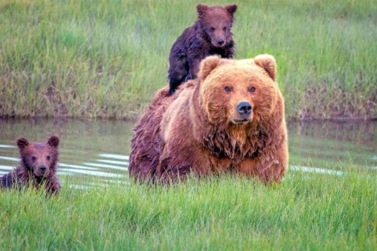 Ilustrasi Keluarga Beruang.