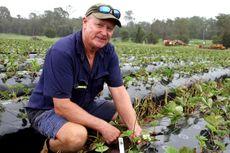 Dibuka Lowongan Jadi Petani Stroberi di Australia, Berhadiah Rp 1 Miliar