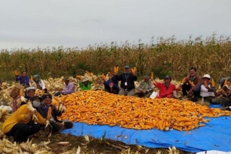Petani jagung binaan Toba Pulp Lestari melakukan panen perdana