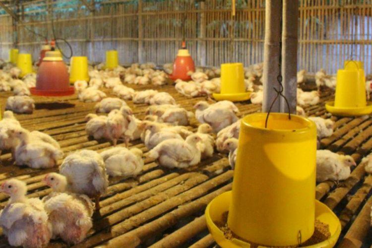 Harga jual ayam di tingkat peternak anjlok.