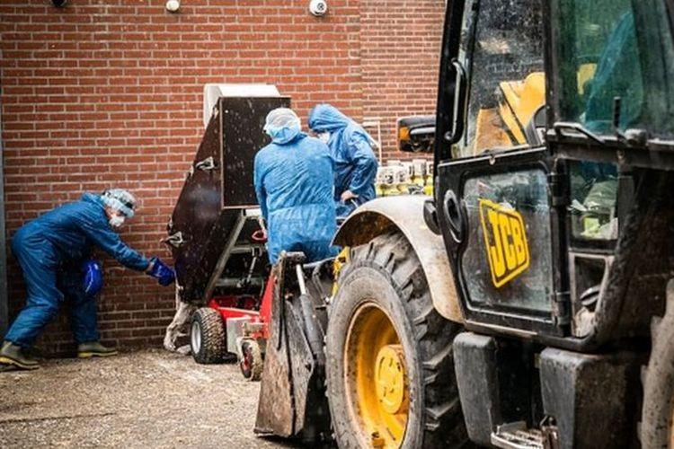 Puluhan ribu cerpelai telah dimusnahkan di Belanda sejak wabah virus corona dimulai.