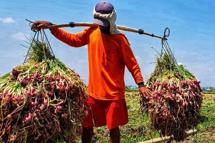 Petani bawang merah di Brebes, Jawa Tengah tengah mengangkat hasil panennya