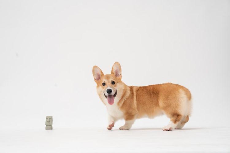 Ilustrasi anjing corgi
