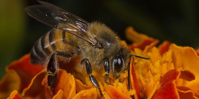 Ilustrasi lebah pembunuh atau lebah madu Afrika.
