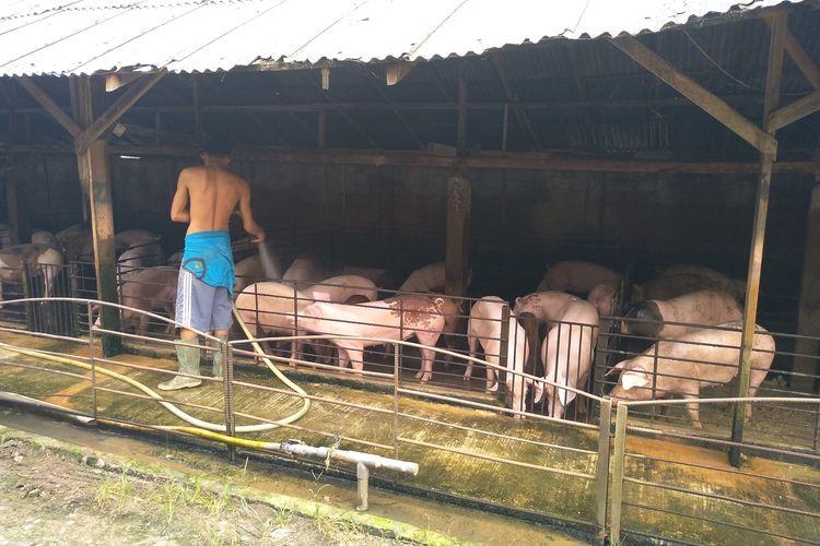 Seorang pekerja di kandang babi milik Juhai di Pasar 6, Kelurahan Tandem Hulu, Kecamatan Hamparan Perak, Deli Serdang memandikan babi sebelum memberinya makan. Saat ini peternak resah lantaran ternaknya tidak laku.