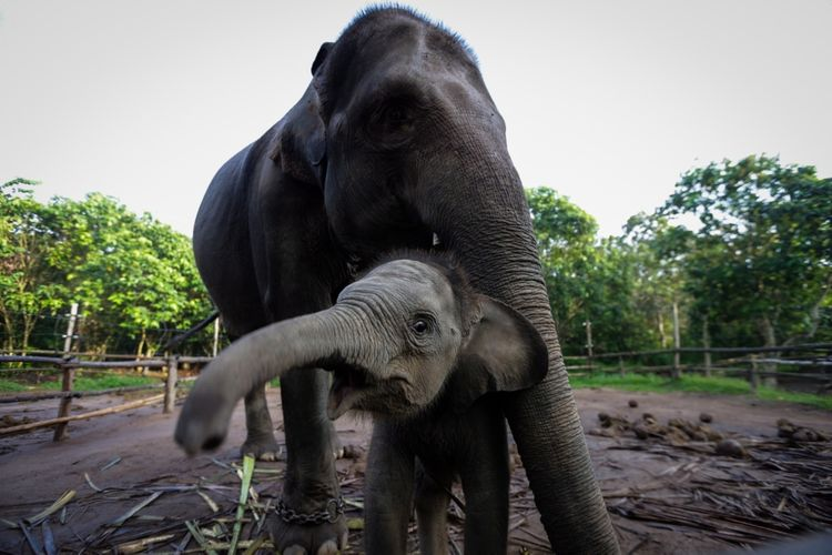 Gajah Sumatera (Elephas maximus sumatranus) jinak milik Elephant Response Unit di kamp Tegal Yoso, Taman Nasional Way Kambas, Lampung Timur, Sabtu (29/8/2017).  Gajah-gajah jinak milik Elephant Response Unit dilatih untuk digunakan mengatasi konflik gajah liar dengan warga di sekitar kawasan hutan Taman Nasional Way Kambas