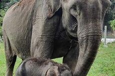 Kabar Gembira, Gajah Sari Melahirkan Anak Kedua