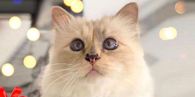 Choupette, kucing kesayangan ikon fesyen dunia Karl Lagerfeld.