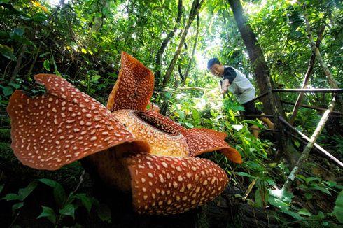 Potensi Rafflesia Jadi Obyek Wisata di Bengkulu