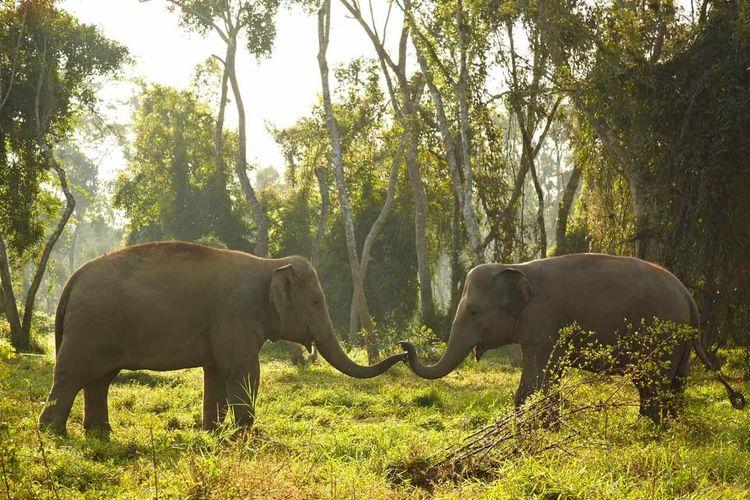 Gajah di habitat natural mereka di Anantara Golden Triangle Elephant Camp & Resort