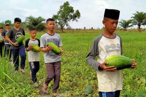 Berburu Semangka Inul di Pondok Pesantren Attauhid Ogan Ilir
