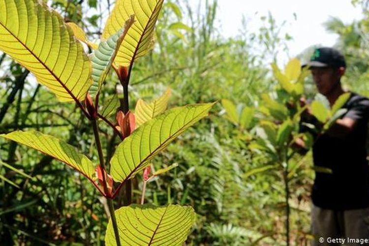 Daun Kratom muda yang tumbuh liar di hutan hutan Nunukan. Masyarakat setempat menyebutnya sebagai Kekatung dan biasa dimanfaatkan sebagai obat herbal (Murjani)