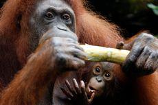 Benarkah Lipstik Jadi Ancaman Kehidupan Orangutan dan Spesies Lainnya?