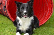 7 Jenis Anjing Paling Pintar untuk Jadi Peliharaan