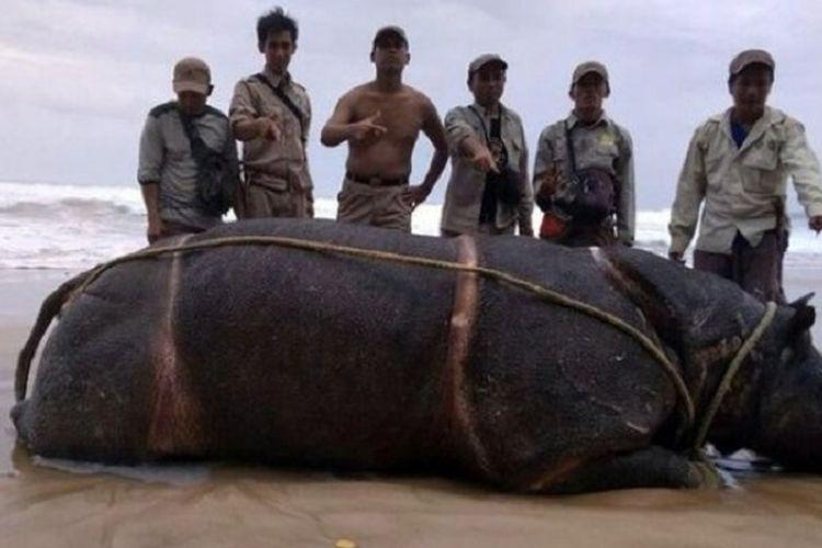 Bangkai badak jawa bernama Samson yang ditemukan di Pantai Karang Ranjang, Taman Nasional Ujung Kulon.