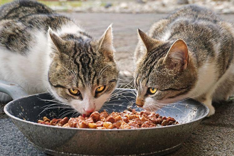 Memilih makanan kucing memerlukan kecermatan. Sebab, penting untuk memastikan makanan yang diasup dapat memenuhi kebutihan nutrisinya.