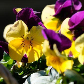 Ilustrasi bunga pansy