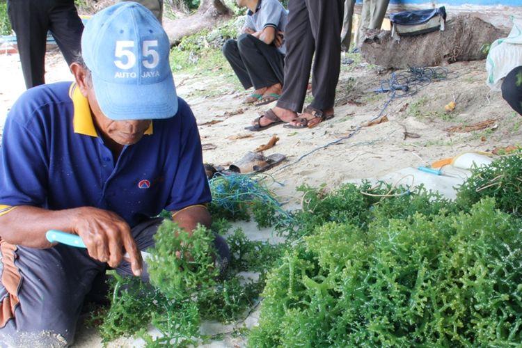 Begini Cara Kepulauan Seribu Jadi Produsen Rumput Laut Kelas Dunia