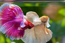 Simak, Langkah-langkah Mengganti Air pada Akuarium Ikan Cupang